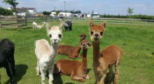 Marshland Alpacas Certificated Site