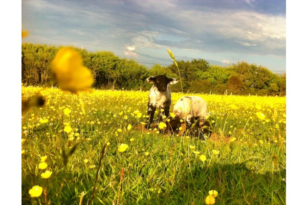 Spring Lambs at Cerenety