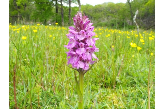 Orchid in wildflower meadow