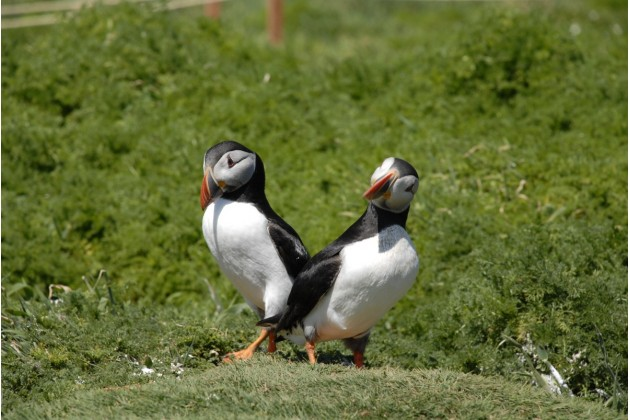 Puffins bread on the nearby island of Skomer