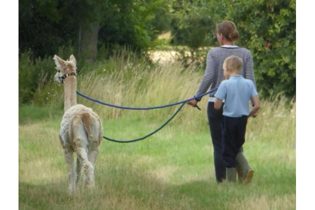 Walking with the alpacas