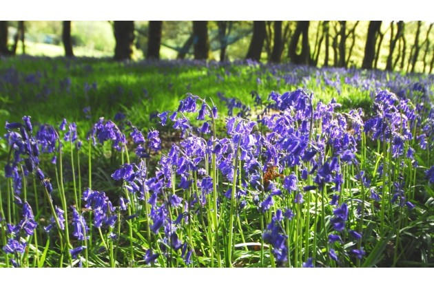 Woodlands carpeted in spring bluebells