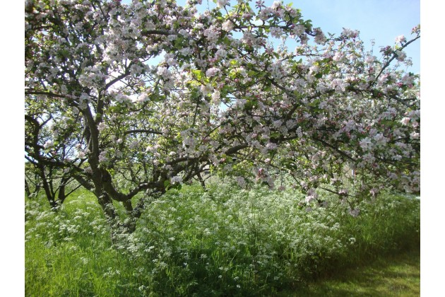 Our apple orchard in Spring.