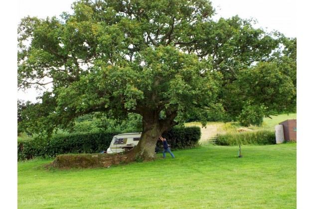 leaning oak of broadstone